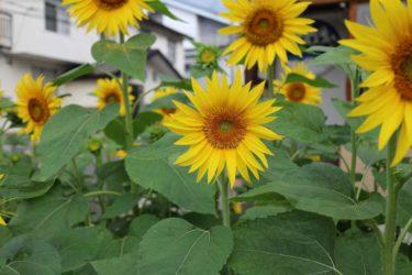 ゆったりとした優しい雰囲気のポップバラード「夏の終わりの向日葵」