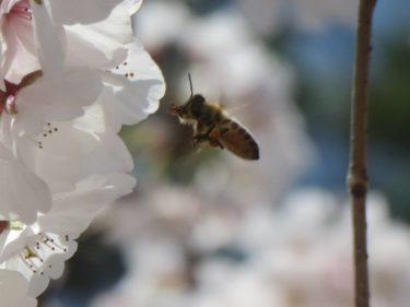 春を感じさせる明るく軽快なポップサウンド「ミツバチと花びら」