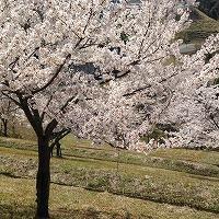 桜の花が散っていく情景を想像する切ないポップ系音楽素材「blossom shower」